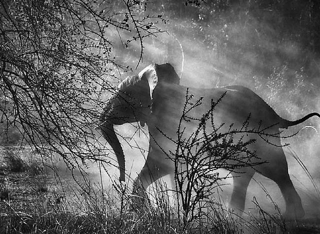 kafue national park, zambia [elephant] by sebastião salgado